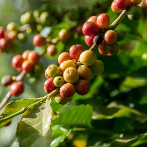 Die größten Kaffeeproduzenten der Welt (Länder)